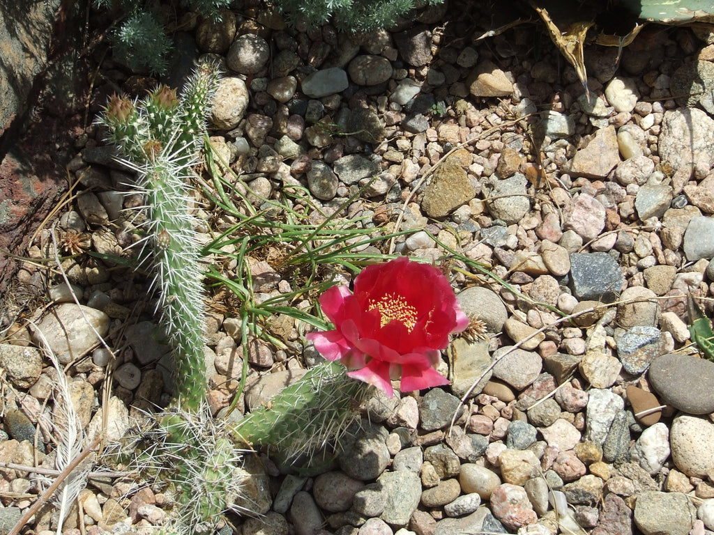 OP015: Opuntia polyacantha 'Taylor's Red'