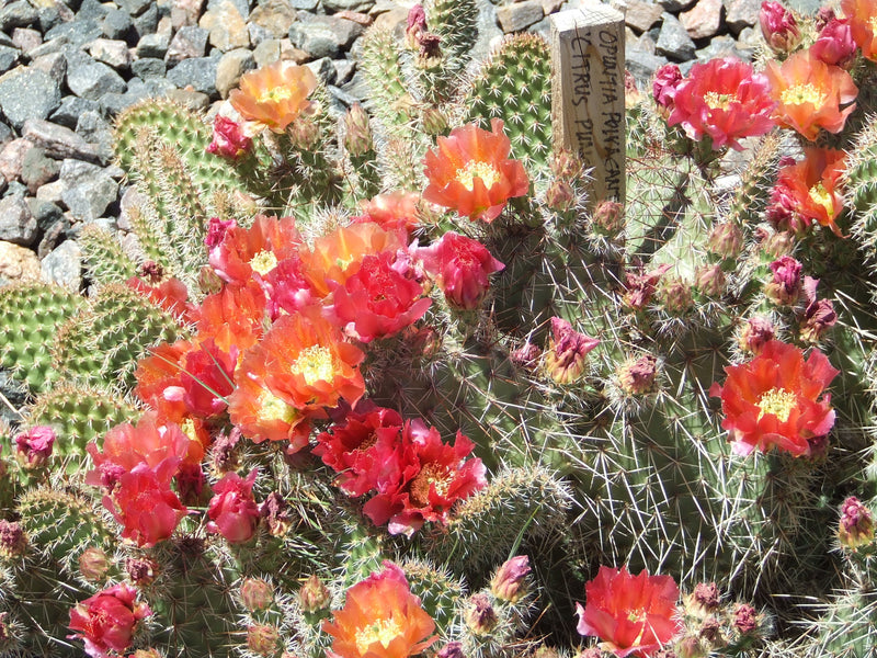 OP056: Opuntia polyacantha 'Citrus Punch' COLD HARDY CACTUS