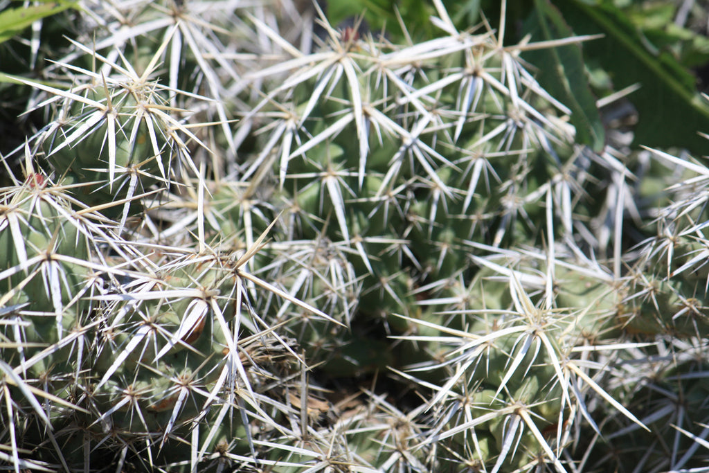 OP023: Opuntia clavata (cylindropuntia)