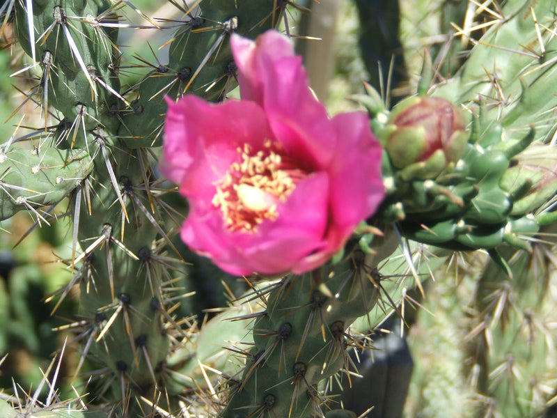 OP048: Cylindropuntia imbricata v. arborescens 'Taylor's Santa Fe Red' COLD HARDY CACTUS