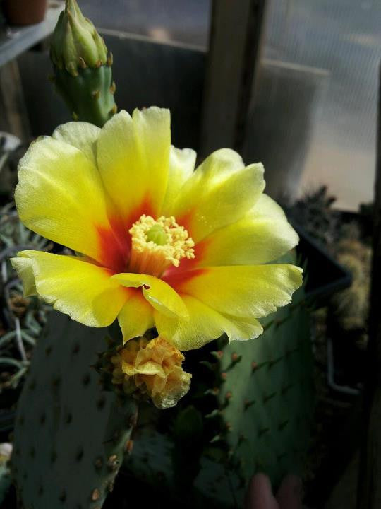 OP054: Opuntia macrocentra COLD HARDY CACTUS