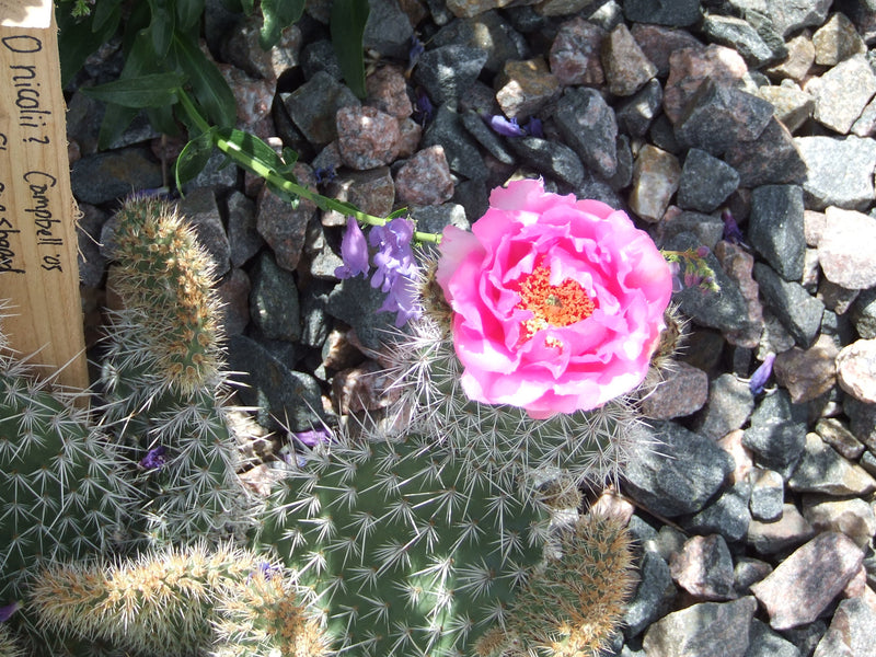 OP057: Opuntia nicolii COLD HARDY CACTUS