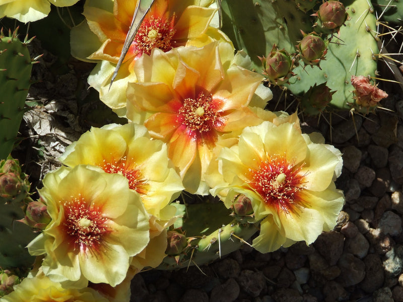 OP044: Opuntia 'Loveliness' COLD HARDY CACTUS