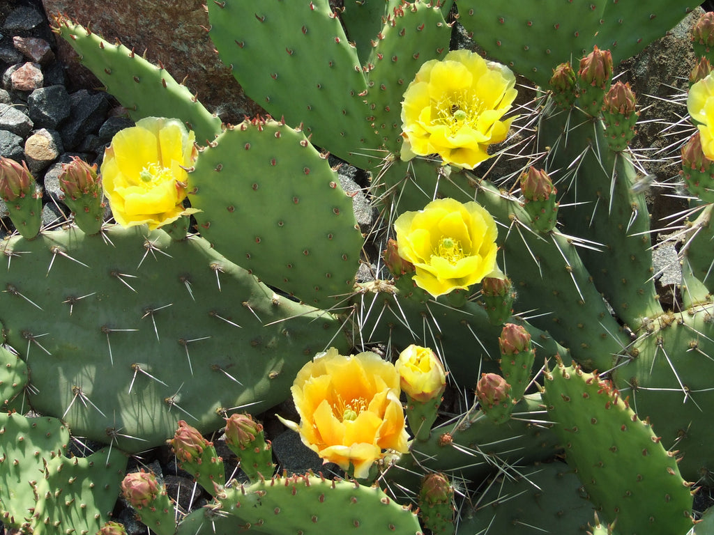 OP034: Opuntia phaeacantha 'Paradox Form' (Prickly Pear Cactus) COLD HARDY CACTUS