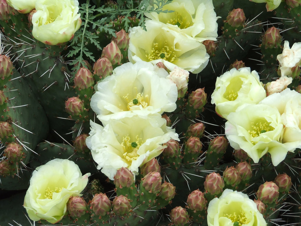 OP013: Opuntia rhodantha 'Snowball' COLD HARDY CACTUS