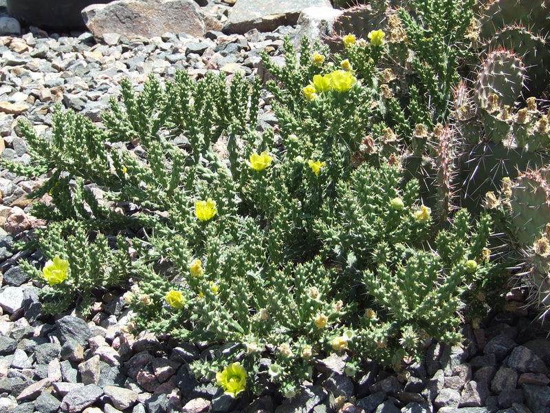 OP046: Cylindropuntia whipplei (Whipple's Cholla)
