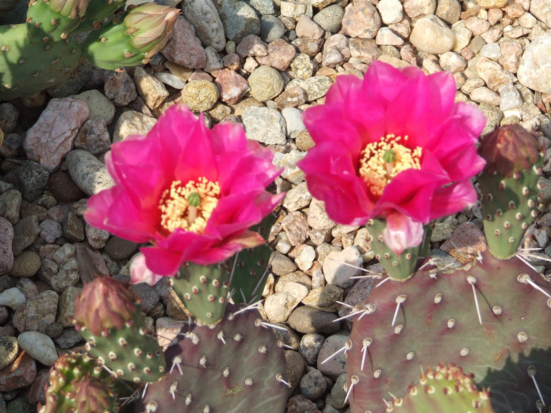 OP103: Opuntia hybrid WALK IN BEAUTY™ Al Parker