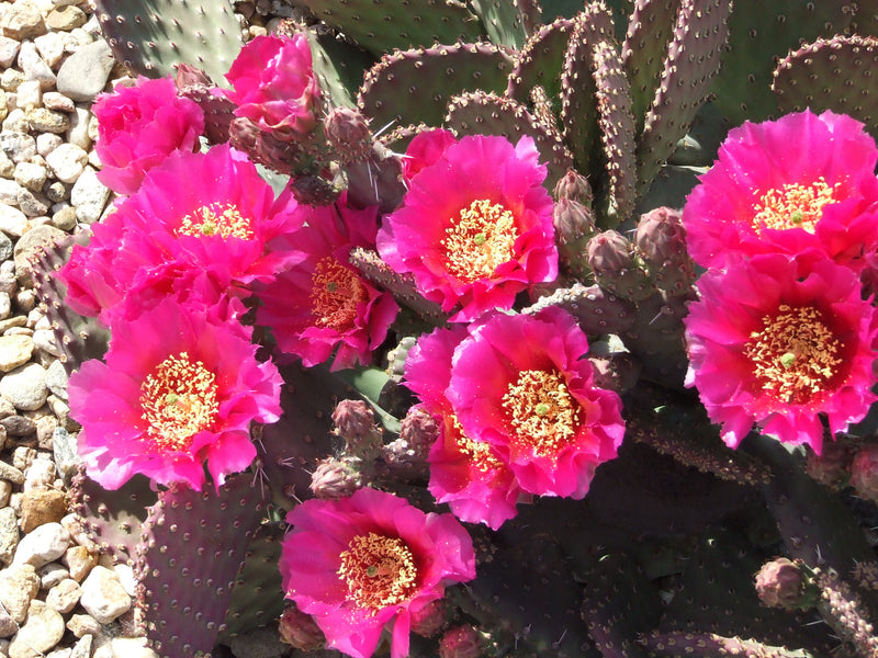 OP094:  Opuntia hybrid WALK IN BEAUTY™ Chocolate Princess COLD HARDY CACTUS
