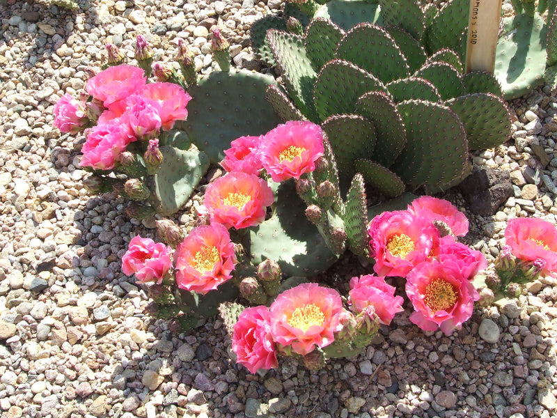 OP095:  Opuntia hybrid WALK IN BEAUTY™ Colorado Sunset COLD HARDY CACTUS