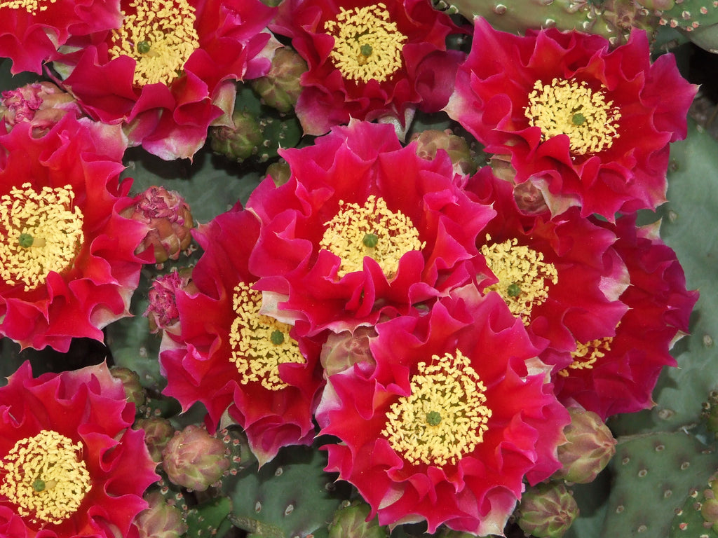 OP096:  Opuntia hybrid WALK IN BEAUTY™ Garnet Glow