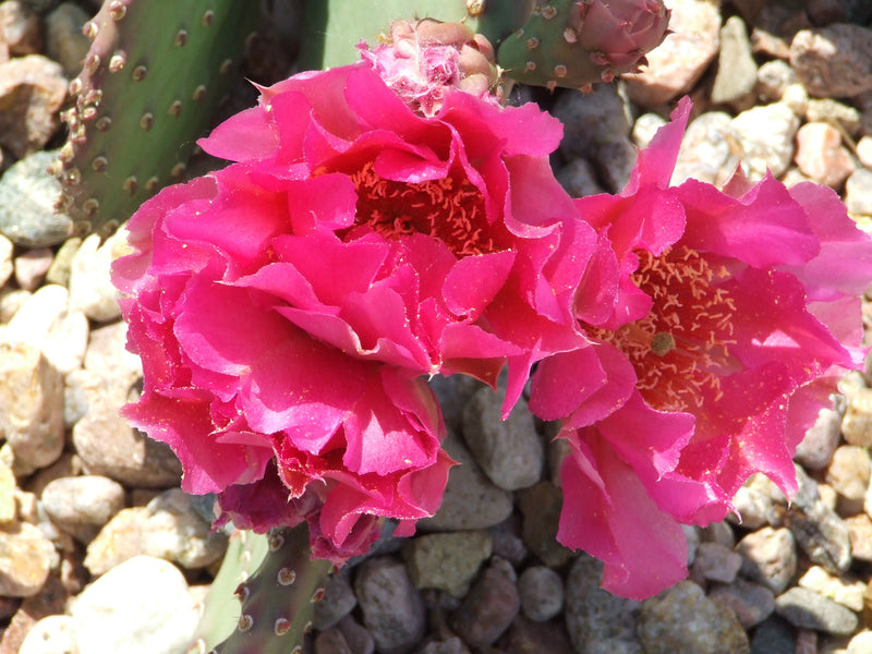 OP102:  Opuntia hybrid WALK IN BEAUTY™ Hawaiian Punch