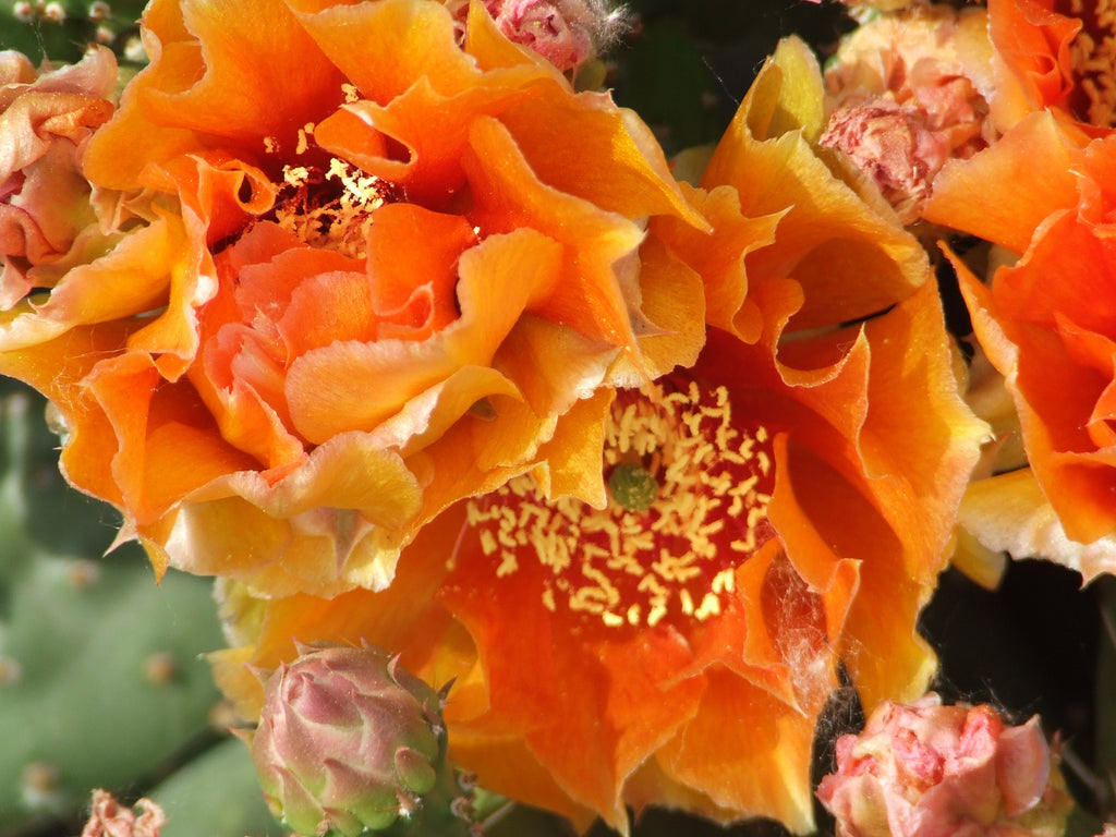 OP098:  Opuntia hybrid WALK IN BEAUTY™ Mandarin Sunrise COLD HARDY CACTUS