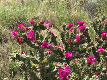 OP017: Cylindropuntia imbricata v. arborescens 'Fred's Red' COLD HARDY CACTUS