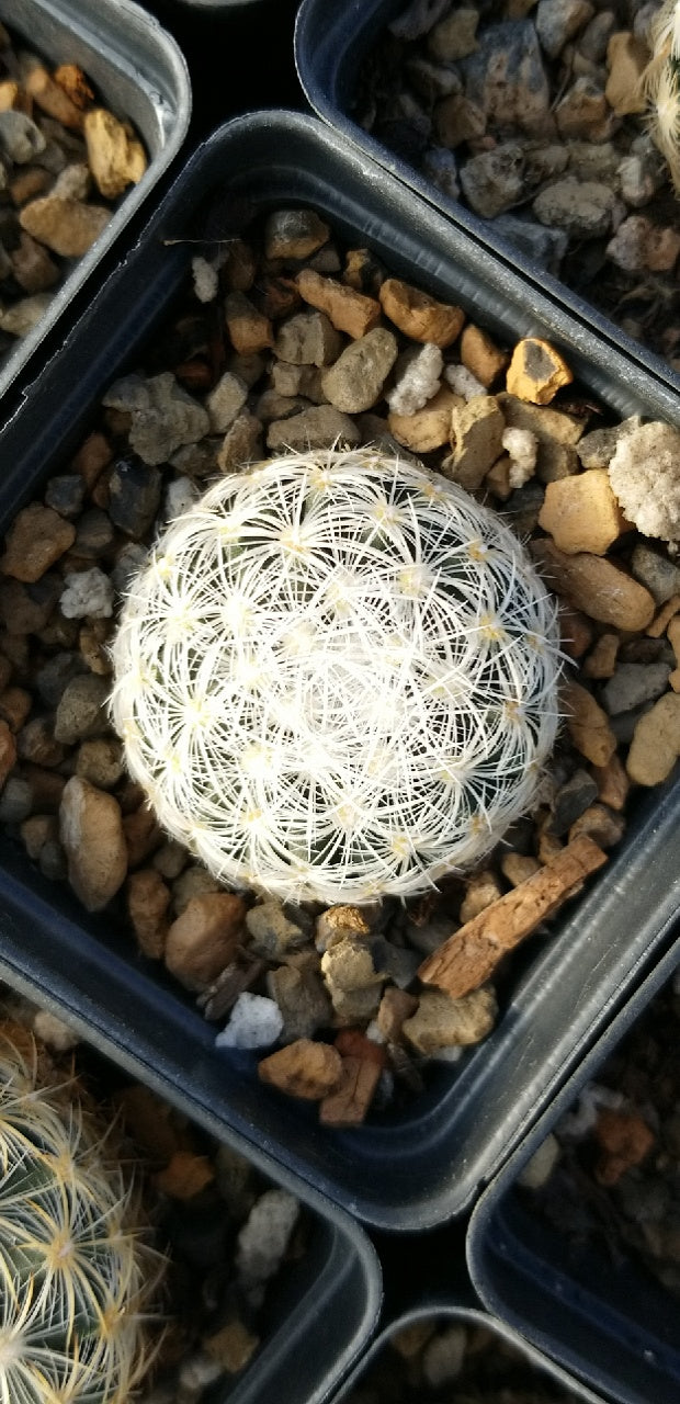PE002: Pediocactus simpsonii (Snowball)