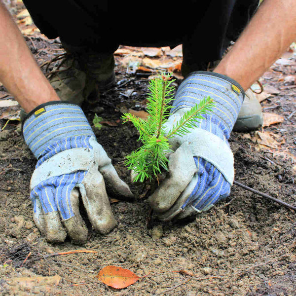 Two Gloved Hands Planting A Pine Sapling