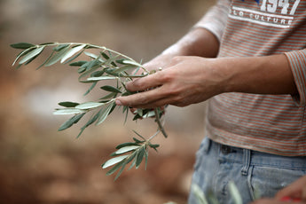 Olive Leaves Extract and the healing power of olive leaves....