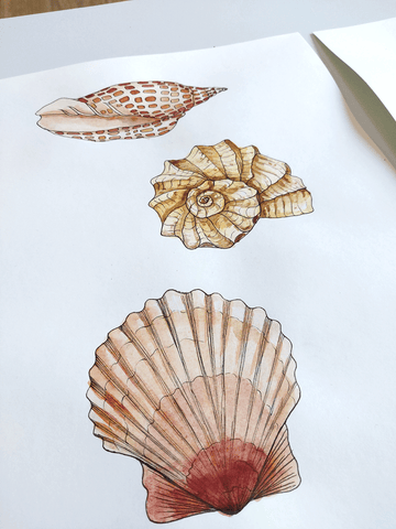 Sea Shell illustrations by Penny Royal Design