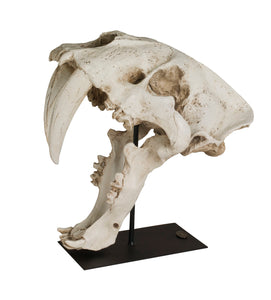 Sabre Tooth Skull