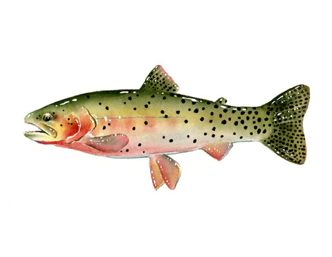 Cutthroat Trout II
