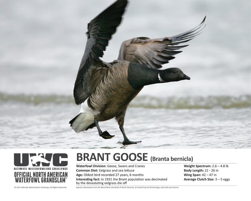 UWC BRANT GOOSE WATERFOWL POSTER