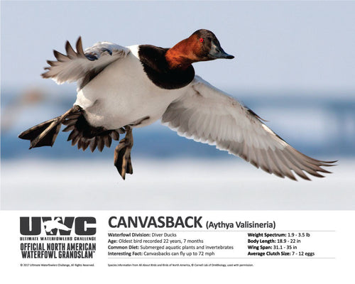 UWC CANVASBACK WATERFOWL POSTER
