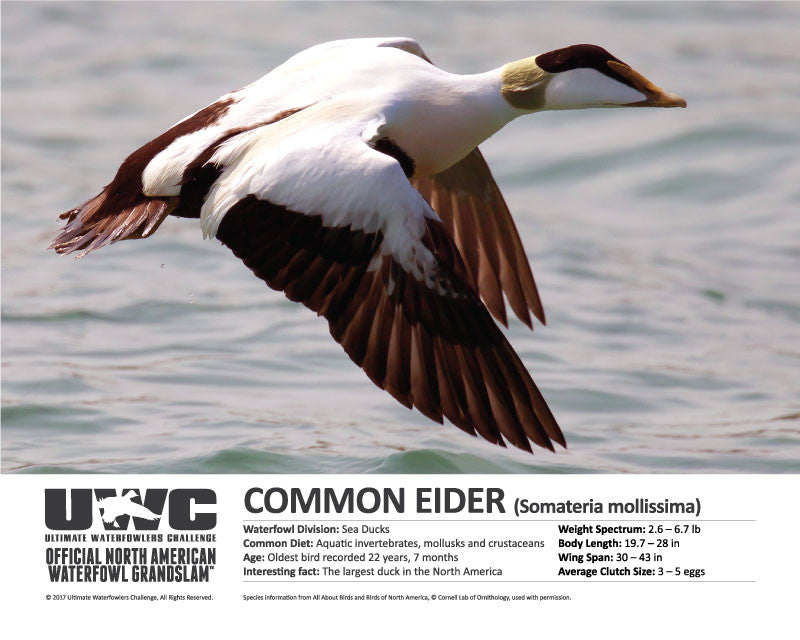 UWC COMMON EIDER WATERFOWL POSTER