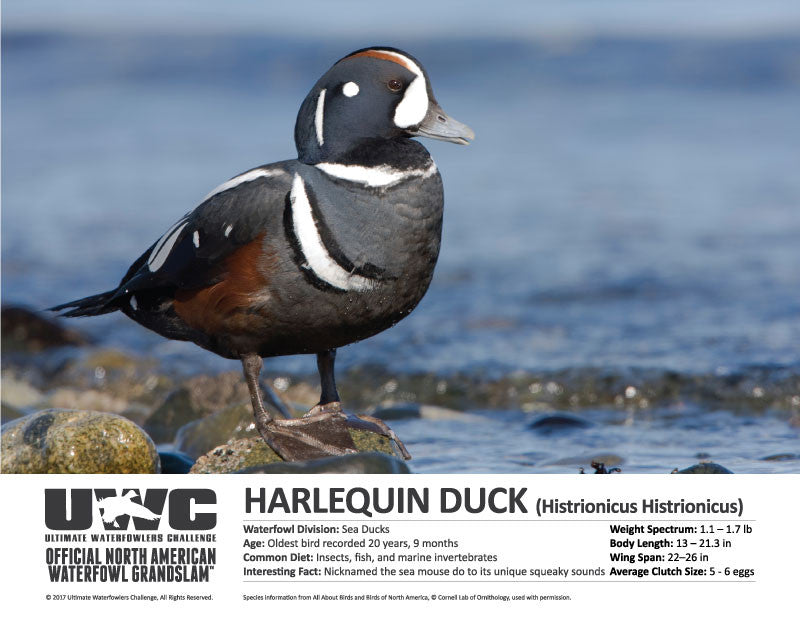 UWC HARLEQUIN WATERFOWL POSTER