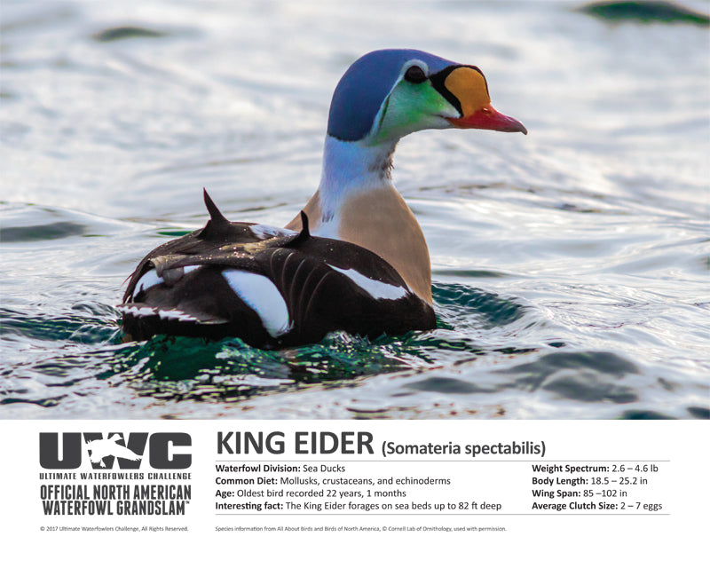 UWC KING EIDER WATERFOWL POSTER