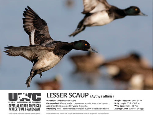 UWC LESSER SCAUP WATERFOWL POSTER