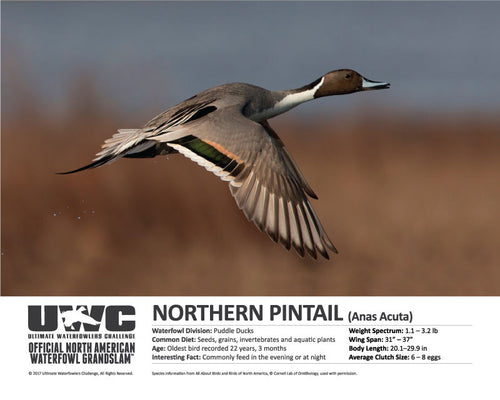 UWC NORTHERN PINTAIL WATERFOWL POSTER