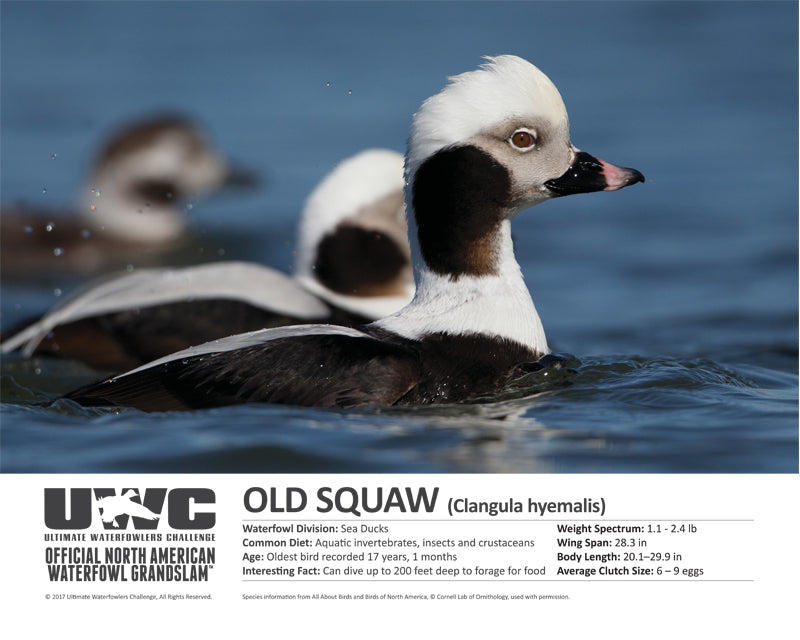 UWC OLD SQUAW WATERFOWL POSTER