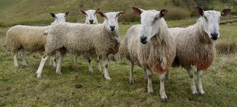 blue faced Leicester sheep in field
