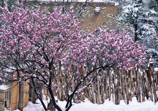 Apricot Tree in Snow- notecard
