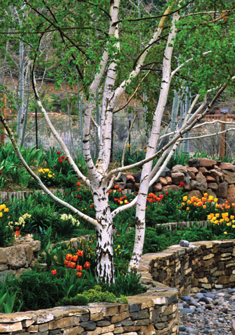 Birches & Tulips- notecard