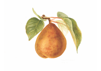Pear - horizontal