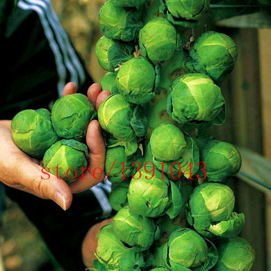 200pcs/bag mini cabbage seeds,Brussel Sprouts Seed, Long Island, Heirloom, Organic, Non-GMO vegetable seeds for home & garden