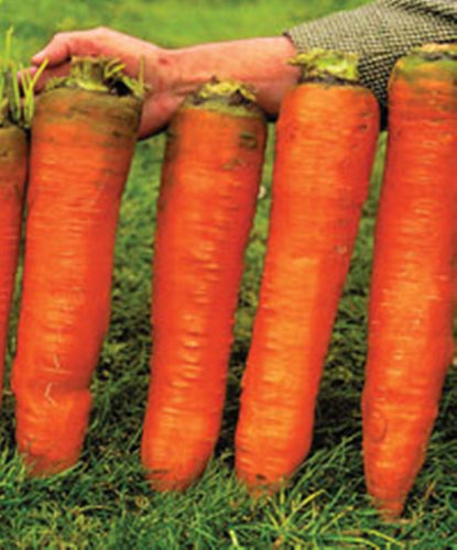500 pcs Carrot Seeds-Red Giant Organic Russian Heirloom Vegetable seeds for home garden plants