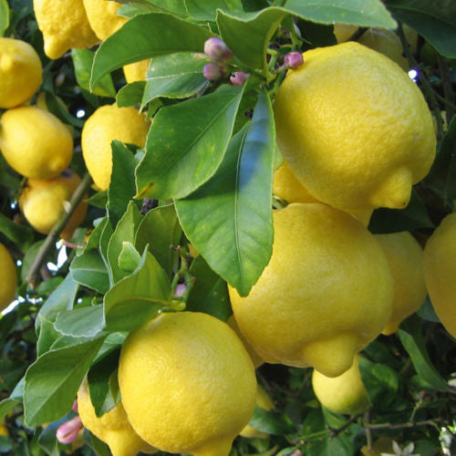 20 pcs Lemon Tree Seeds High survival Rate bonsai Fruit Seeds Bonsai Lemon Seeds For Home Gatden planting