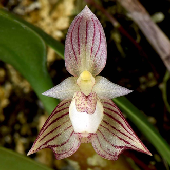 Therapeutic orchids of Asia by Singapore Memories : Medicinal Bulbophyllum part 4