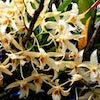 Dendrobium Aureum Scented Orchid of singapore best corporate gift perfume souvenir