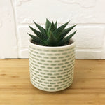 "Load image into Gallery viewer, 2"" haworthia"