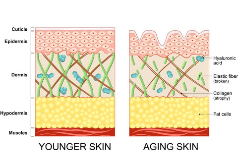 Image showing the difference between the layers of younger vs older skin