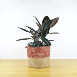 Rubber Plant in Red Basket