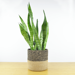 Snake Plant in Black Basket