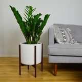 Large ZZ Plant in White Case Study Planter