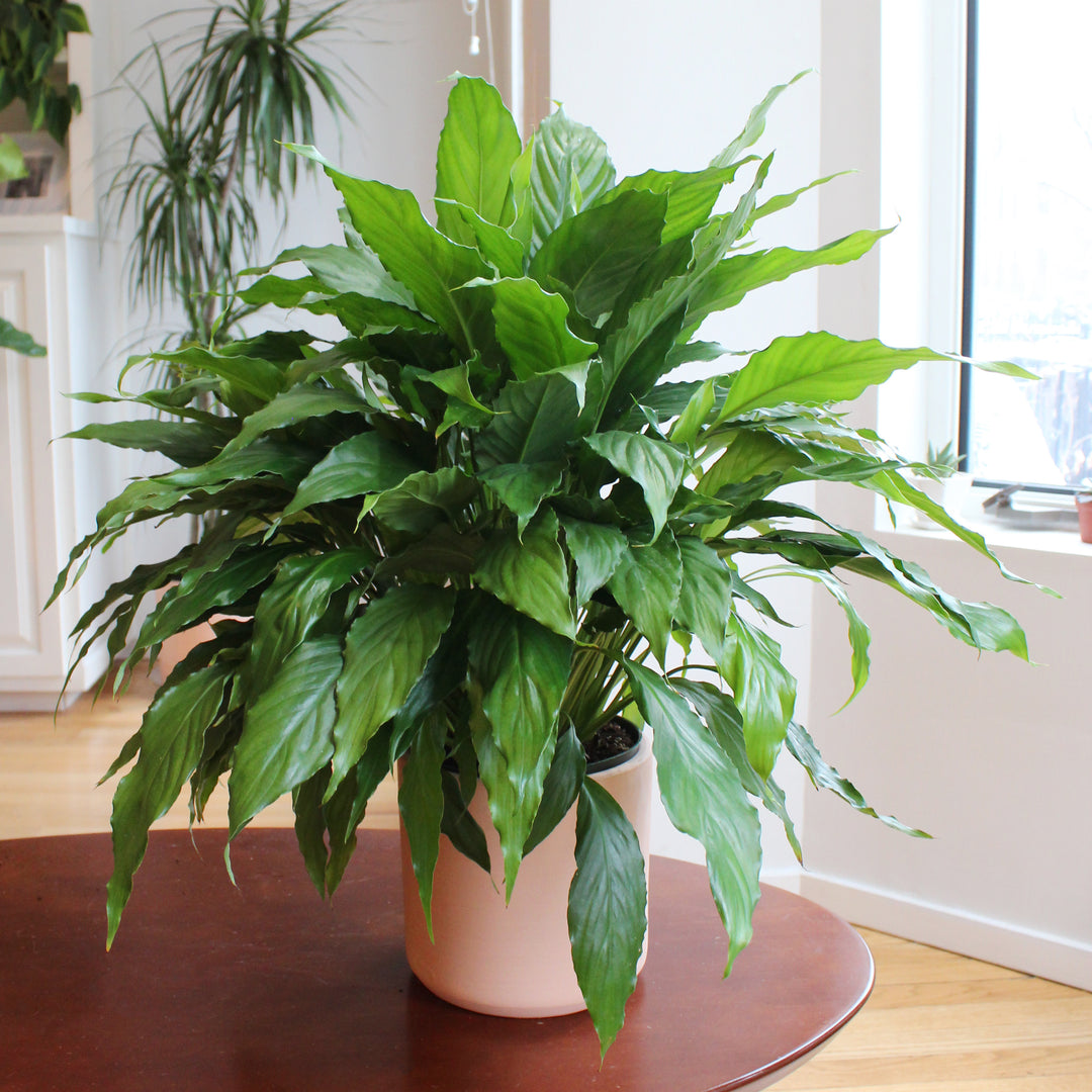 Peace Lily Welltended