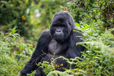 Moutain Gorillas can be found in the Volcanoes National Park in Rwanda