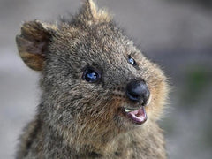 The ever smiling Quokka
