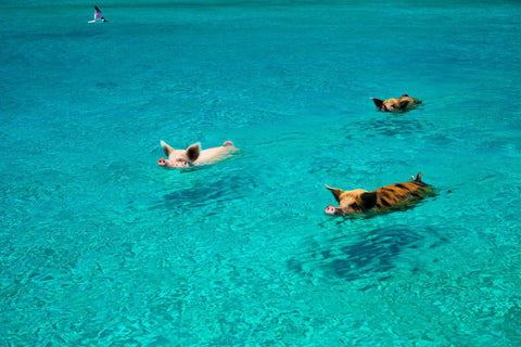 Swim with the locals at Pig Beach