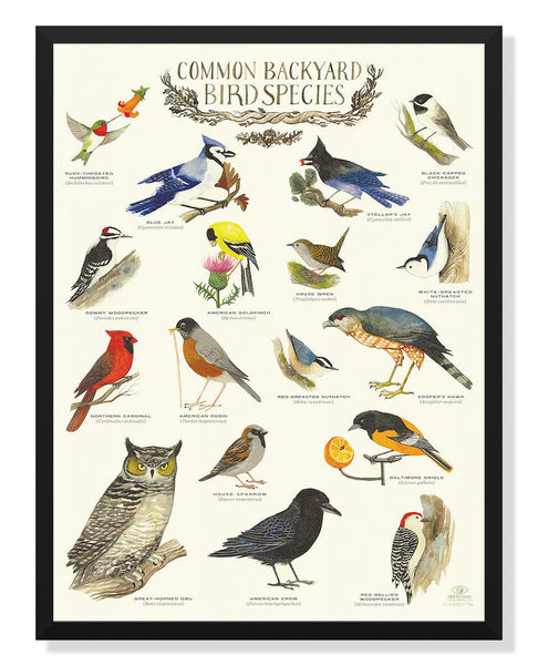 Common Backyard Birds Poster By Diana Sudyka